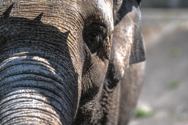 Индийский охотник застрелил раздавившего 15 человек слона