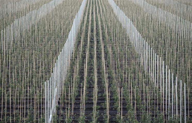 Крупнейшее предприятие в КЧР может увеличить площадь садов из-за ограничения импорта яблок
