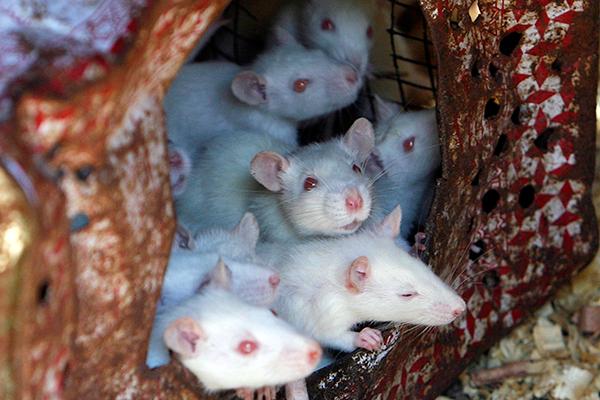 В Аргентине пропажу полутонны марихуаны свалили на мышей