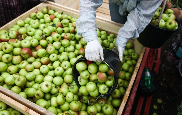 Урожай яблок на Урале в этом году ожидается на 25% выше, чем в 2017 году
