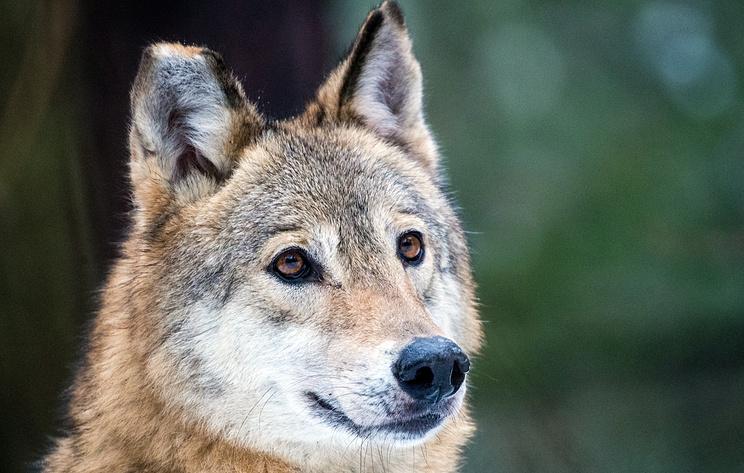 Ученые выяснили, что все волки мира ведут происхождение из доисторической Сибири