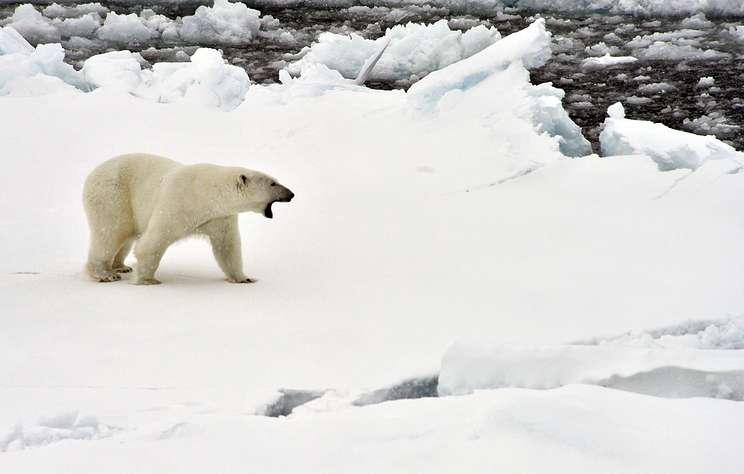 Режим ЧС введен на Новой Земле из-за нашествия белых медведей в поселки