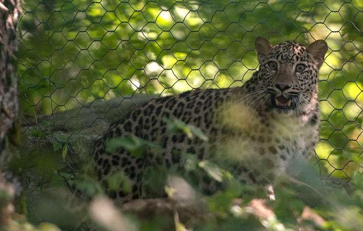 В Сочинском нацпарке установили камеры для наблюдения за леопардами