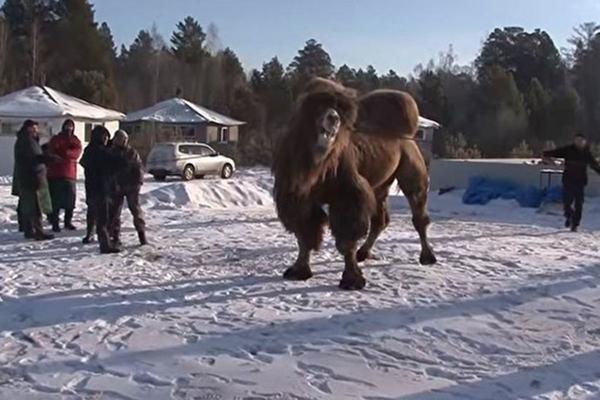 Сжигавшие верблюдов шаманы останутся безнаказанными