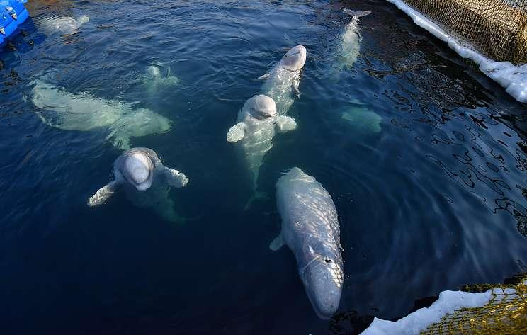 """В Минприроды назвали примерные сроки освобождения косаток и белух из """"китовой тюрьмы"""""""