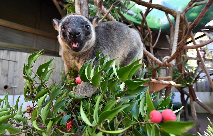 Неизвестный вирус поразил редких древесных кенгуру в Австралии