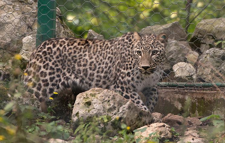 Центр разведения леопардов в Сочи готовит к выпуску в дикую природу пять леопардов