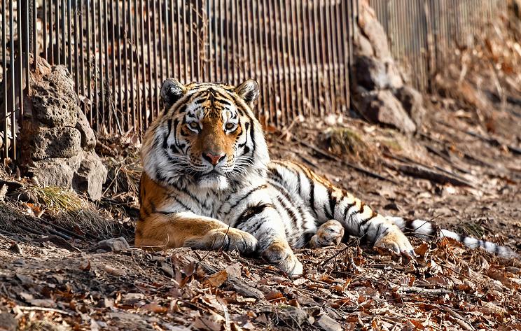Международный форум по сохранению амурского тигра пройдет в Приморье в 2022 году