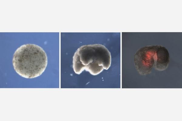 Созданы первые в мире биороботы