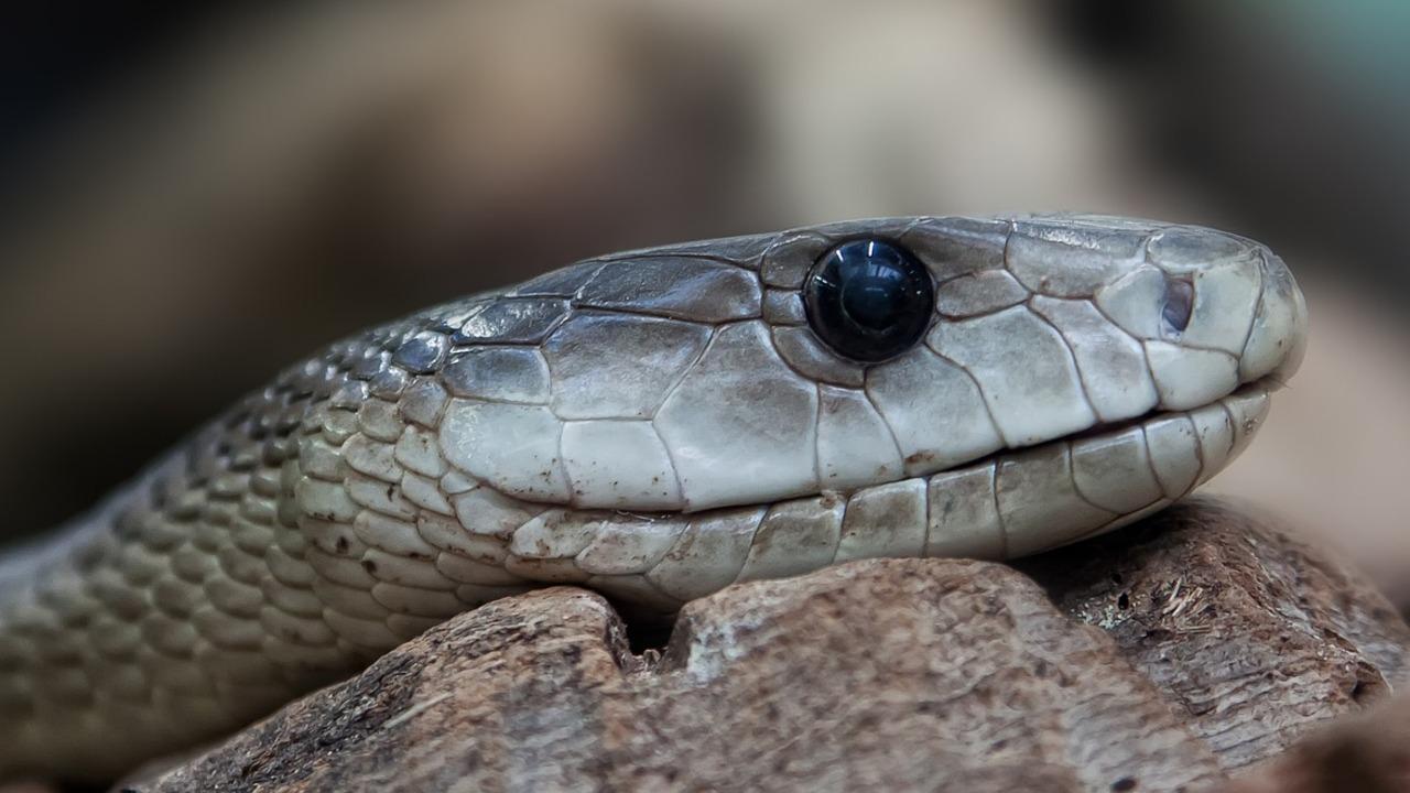В России научились подавлять коронавирус с помощью змеиного яда