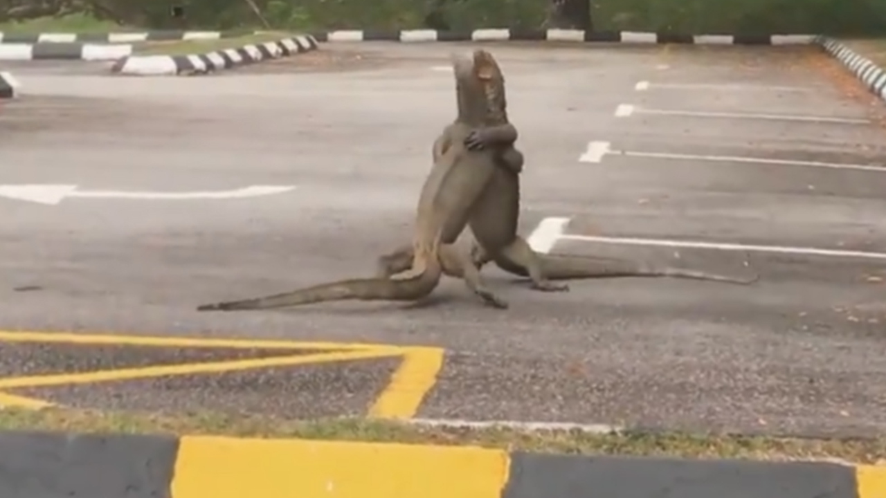 Два гигантских варана устроили разборку на парковке и попали на видео