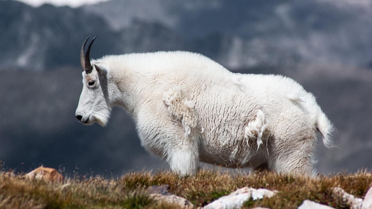 Горный козел насмерть забодал напавшего на него медведя гризли