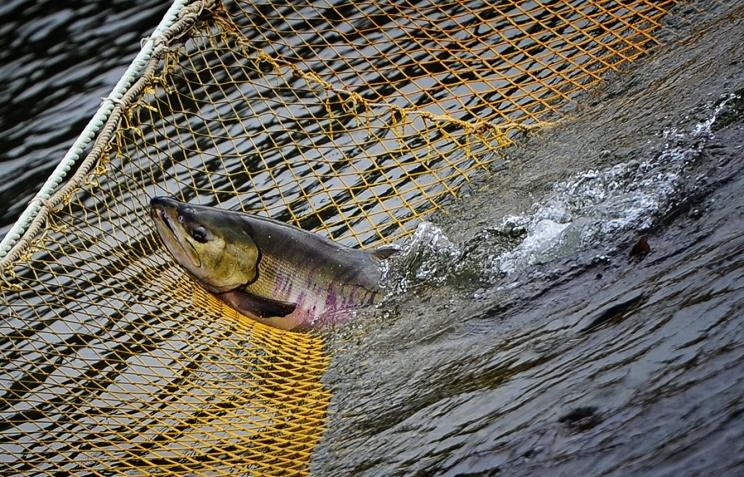 Для вылова таких рыб нужно будет получить именное разрешение рыболова — это документ строгой отчетности с серией и номером по типу охотничьего билета.